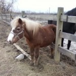 rescue horses - Chubby & Kismet